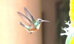 colibri 5